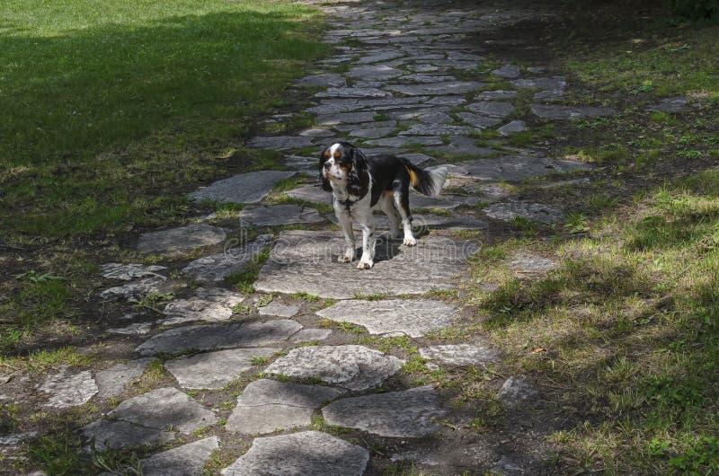 在美丽的石道路的骑士国王查尔斯狗狗姿势在绿色草甸,自然老西部公园 库存图片