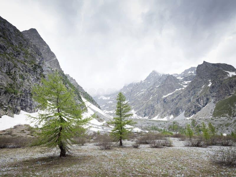 在美丽的简单的近的前de在法国欧特普罗旺斯的parc全国des ecrins的女士carle的落叶松属树 库存照片