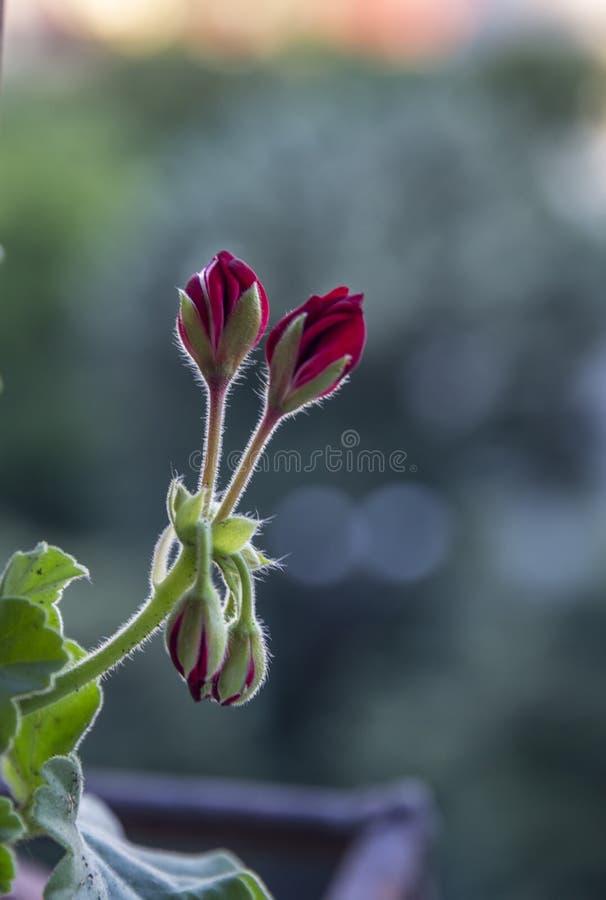 在美丽的红色芽的仔细的审视 免版税库存照片