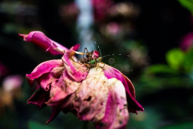 在美丽的老紫色和桃红色罗斯的鲜绿色的臭虫 免版税图库摄影