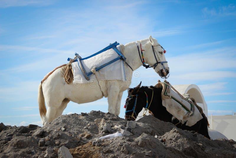 在美丽的鞔具的两头驴在圣托里尼海岛上  免版税库存照片
