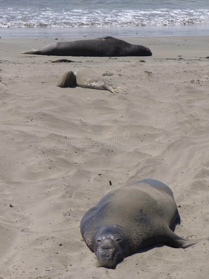 在美国的西海岸的一些海狮 图库摄影