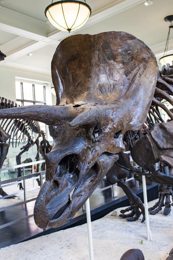 在美国自然历史博物馆的三角恐龙horridus 库存图片
