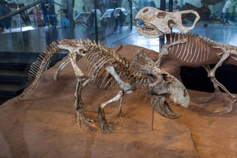 在美国自然历史博物馆的Protoceratops 免版税库存照片