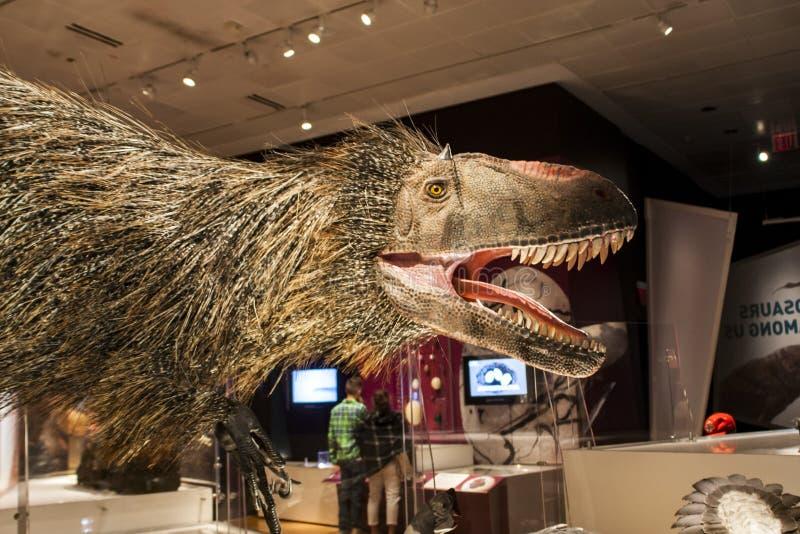 在美国自然历史博物馆的Yutyrannus huali 库存照片