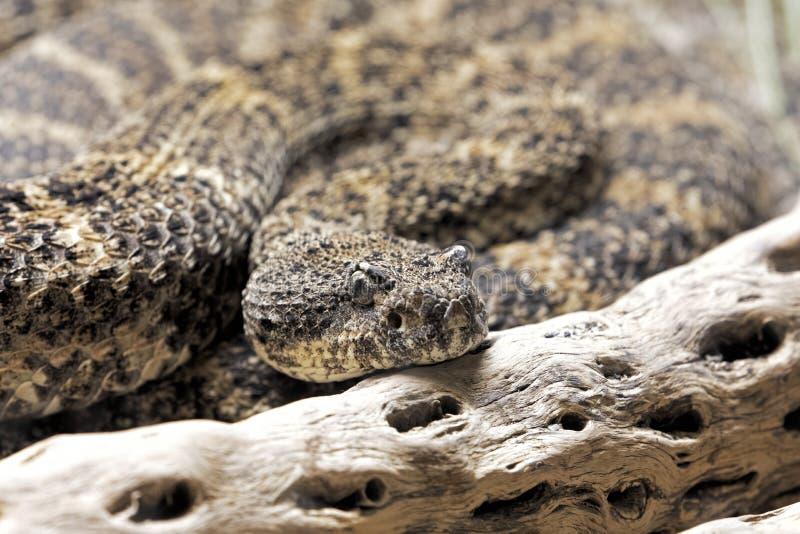 在美国西南部找到的西南有斑点的响尾蛇 免版税库存图片