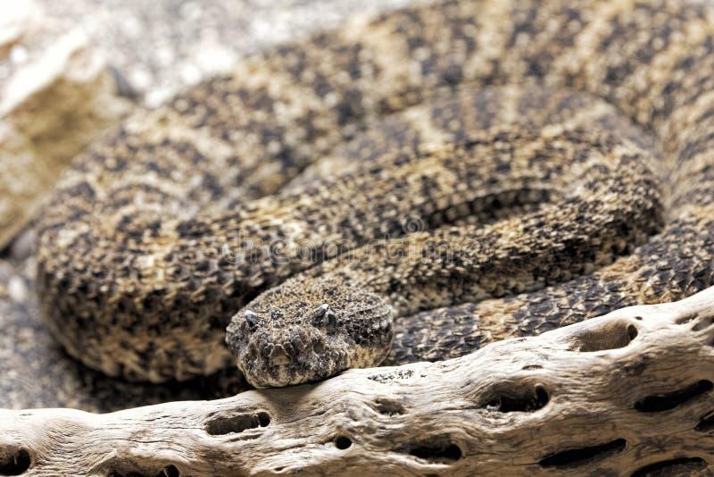 在美国西南部找到的西南有斑点的响尾蛇 图库摄影