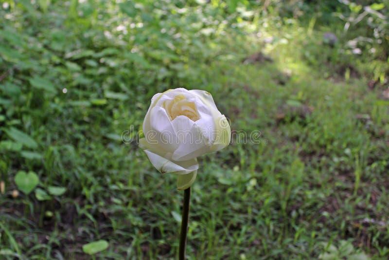 在美好白莲教花开花的宏观射击 免版税库存图片