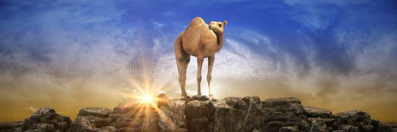 在美好的日落的骆驼 3d?? 库存例证