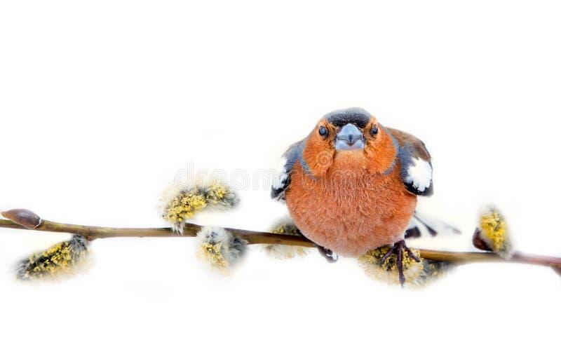 在美好的杨柳分支的大眼红色鸟与柔荑花 免版税图库摄影