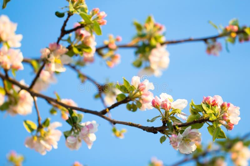 在美好的桃红色花开花分支的春季 免版税库存照片