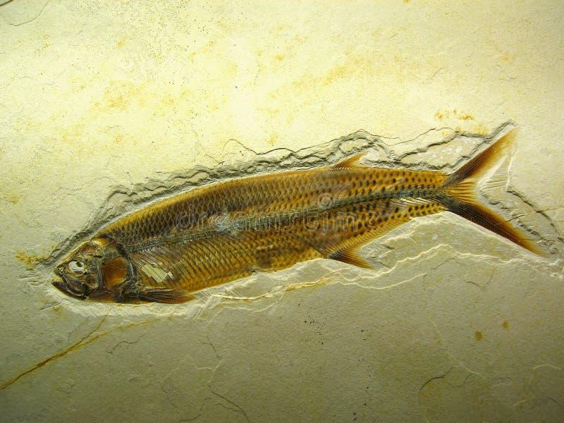 在美好的砂岩的惊人的鱼化石与原封五颜六色的标度和飞翅,Eichstaett,巴伐利亚 库存照片