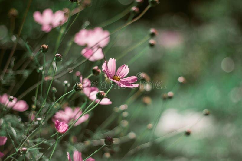 在美好的绿色背景的精美桃红色雏菊 与bokeh的特写镜头 在绿草背景的花 免版税图库摄影