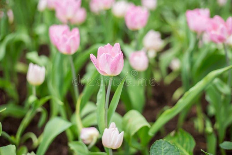 在美好的自然的桃红色郁金香 库存图片