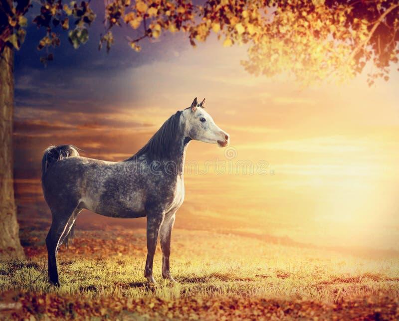 在美好的自然背景的纯血统阿拉伯公马马与树、牧场地和日落 免版税图库摄影