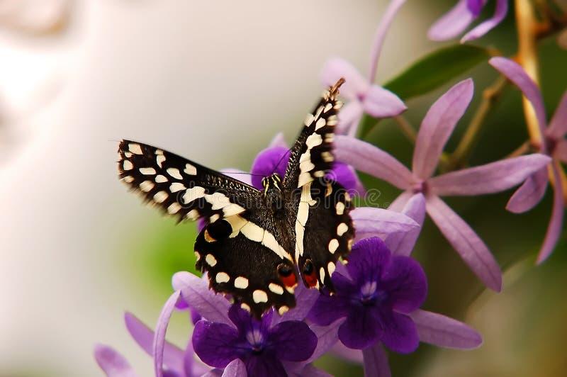 在美好蝶粉花飞行附近 免版税库存照片