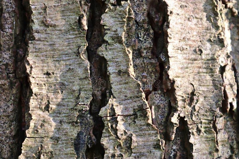 在美妙地橡木和其他树详细的树皮的接近的看法  免版税库存图片