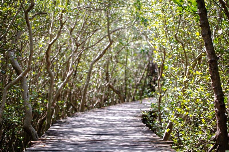在美洲红树森林自然痕迹的树隧道 免版税库存照片