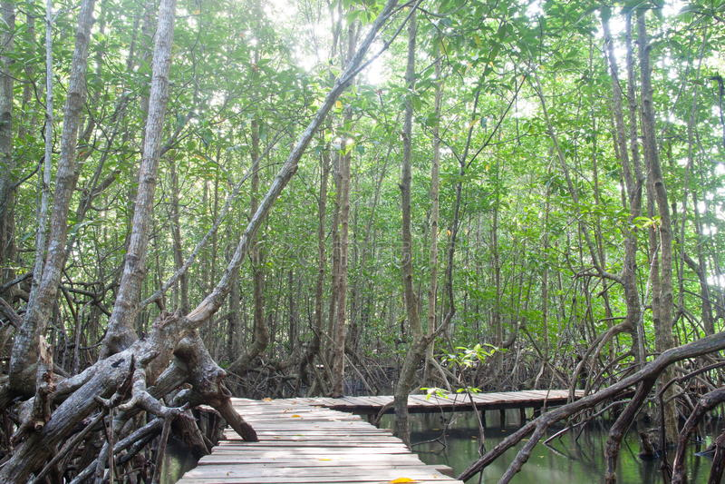 在美洲红树里面的桥梁森林 库存照片