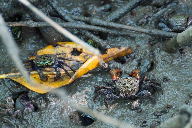 在美洲红树forestThailand的螃蟹 库存图片