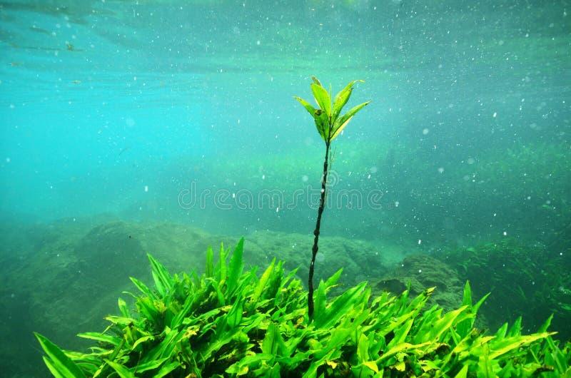 在美洲红树树的水下 免版税库存照片