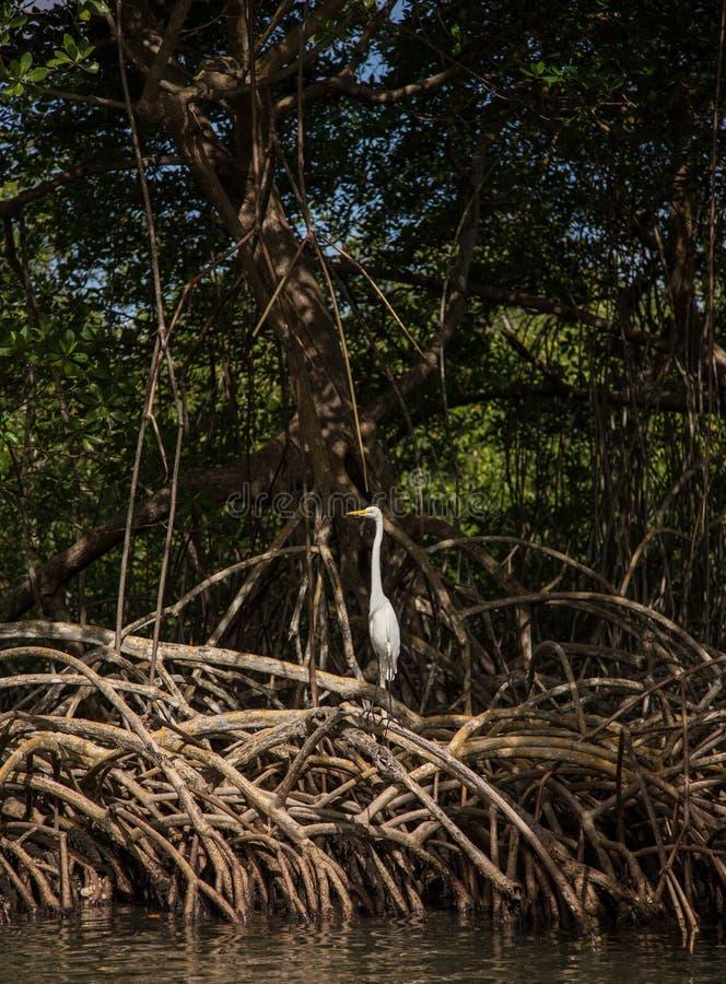 在美洲红树根的白色苍鹭鸟 免版税图库摄影