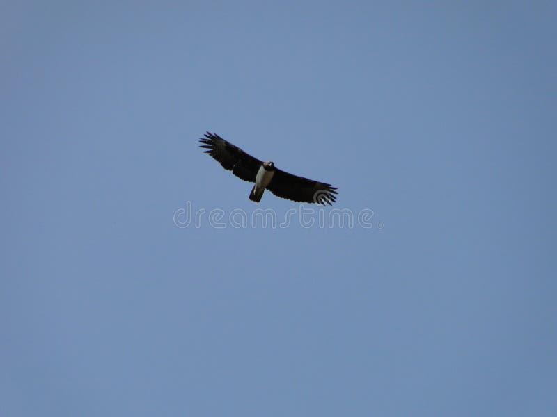 在翼的老鹰 免版税库存图片