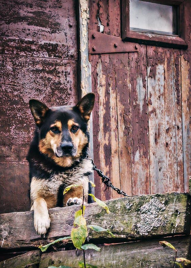 在老农村小屋的链狗 库存图片