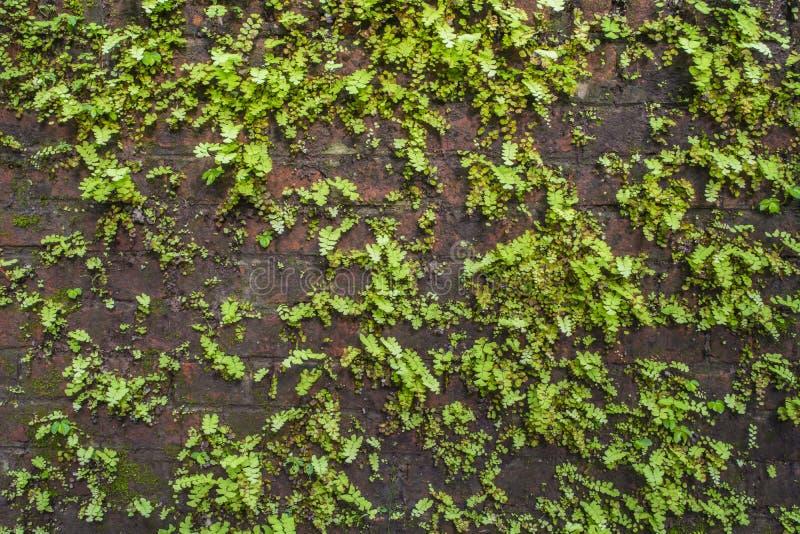 在老墙壁上的植物 免版税库存照片