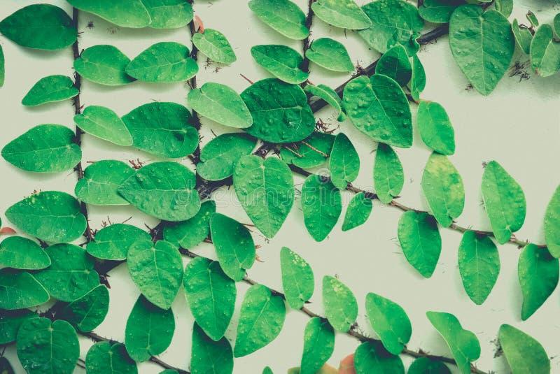 在老墙壁背景的绿色叶子 葡萄酒图象样式和 库存照片