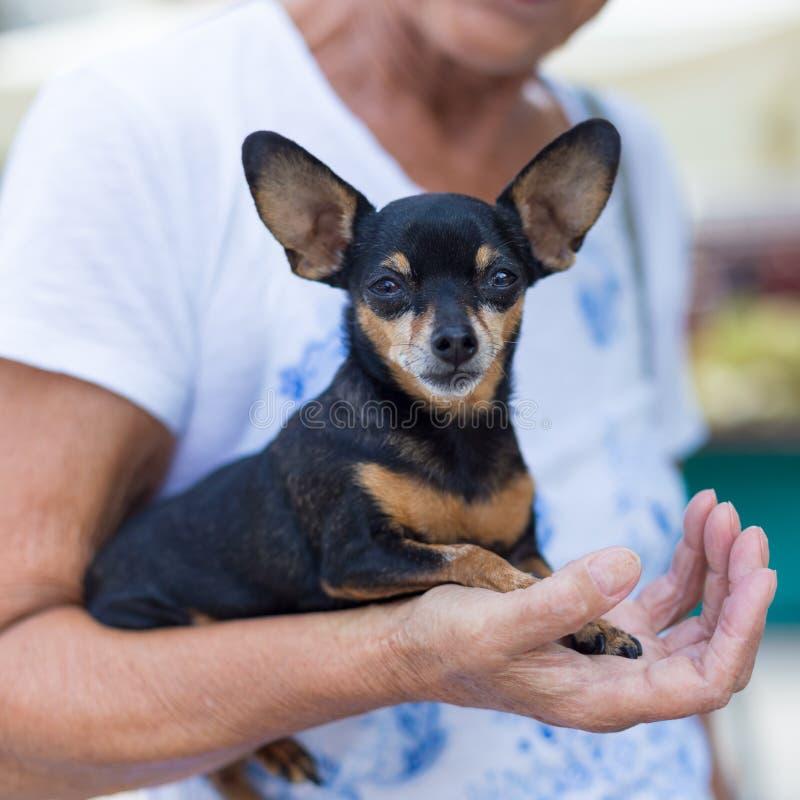 在老妇人膝部的微型短毛猎犬狗 免版税库存图片