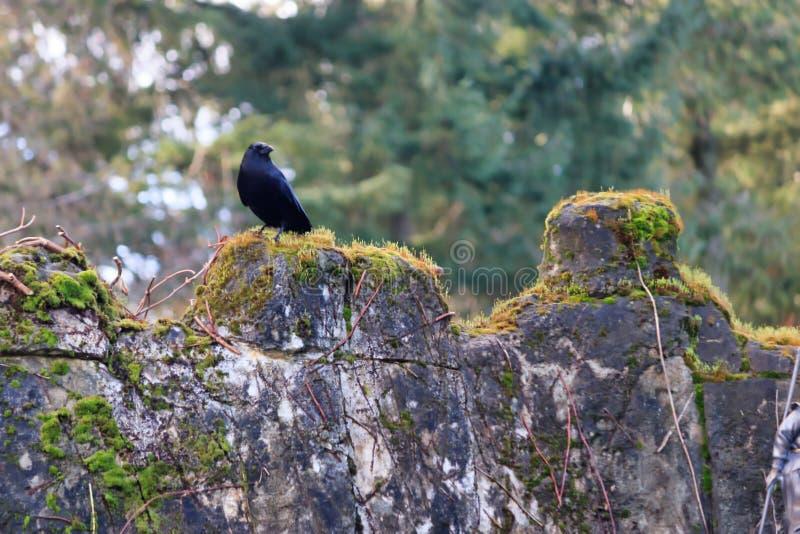 在老岩石墙壁上的乌鸦 免版税库存照片