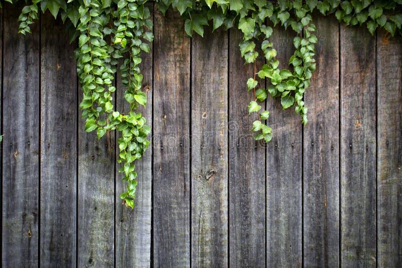 在老木木篱芭的维琪葡萄有退色的油漆的 免版税库存照片