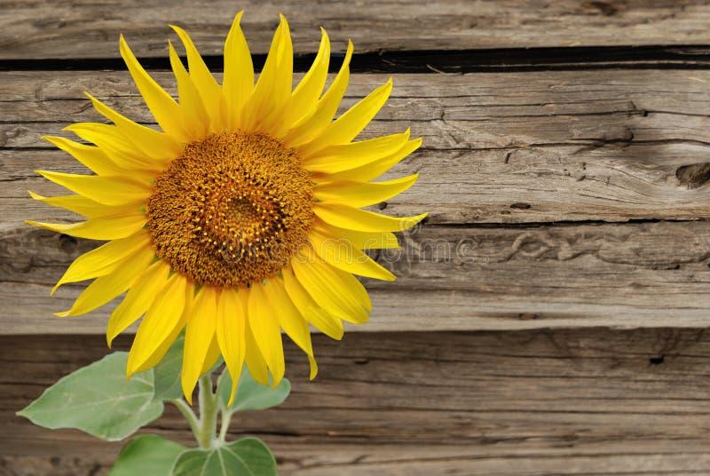 在老木篱芭的背景的向日葵 免版税图库摄影