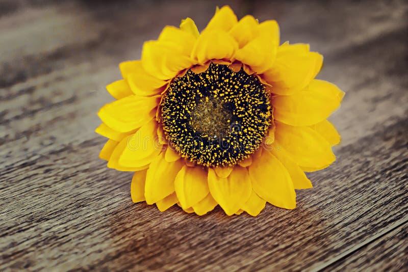 在老木背景的一个向日葵 库存照片