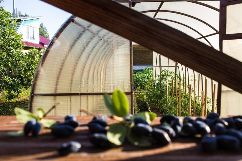 在老木表面特写镜头的蓝色忍冬属植物莓果 库存图片