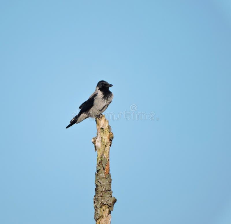 在老树干的乌鸦鸟 免版税库存图片