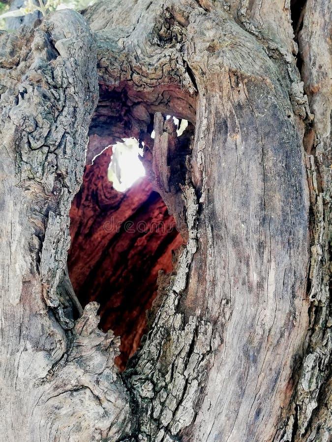 在老橄榄树中的太阳 库存图片