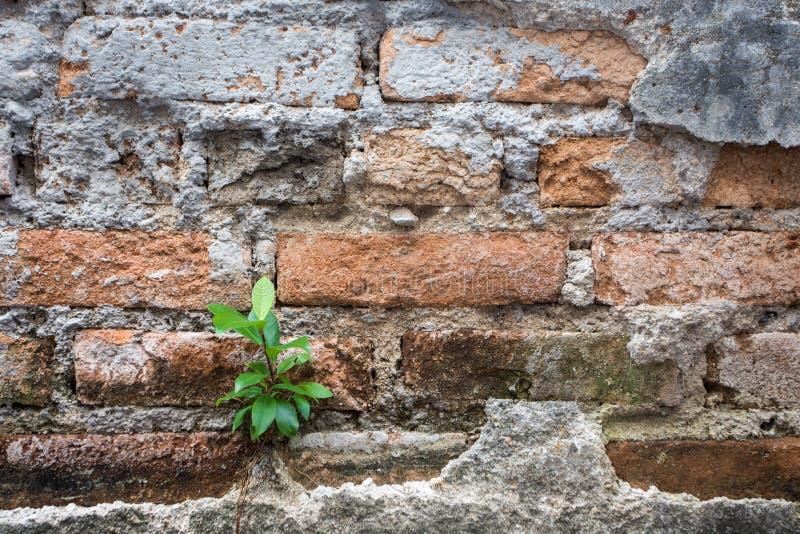 在老砖墙背景的一点树成长 库存图片