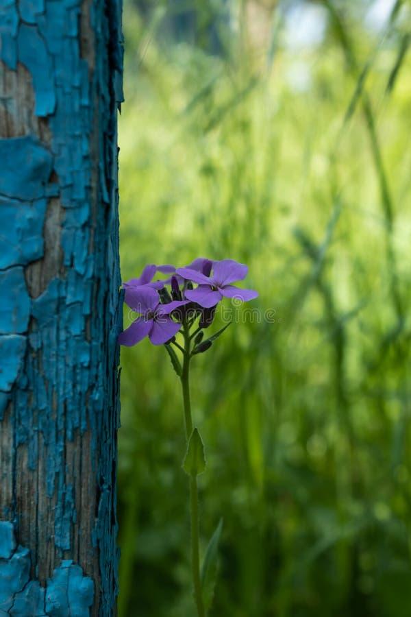 在老破旧的蓝色篱芭上,一朵偏僻的年轻紫色花被设置了以在的丰富的绿草为背景 免版税库存照片