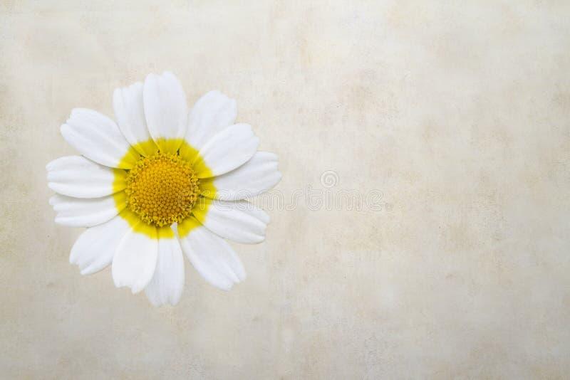 在老纸的雏菊花 库存图片