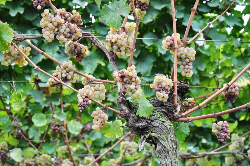 Download 太熟葡萄 库存图片. 图片 包括有 红色, 葡萄, 绿色, 叶子, 食物, ,并且, 收获, 问题的, 果子 - 30327617