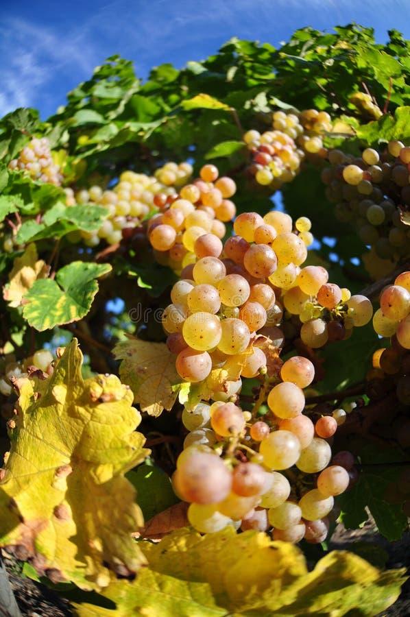 Download 太熟葡萄 库存图片. 图片 包括有 食物, 葡萄, 绿色, 空白, 饮料, ,并且, brander, 工厂 - 30327661