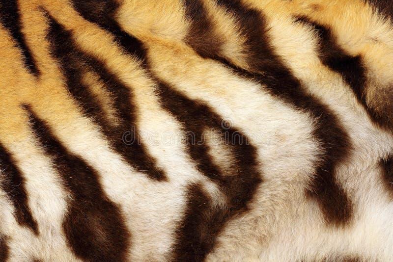 在老虎真正的黑条纹的细节 免版税库存照片