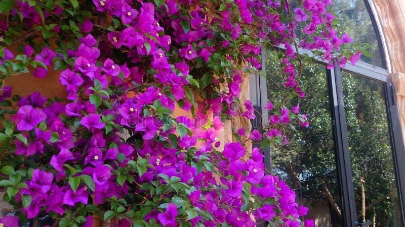 在老赤土陶器墙壁上的紫色木槿 免版税库存照片
