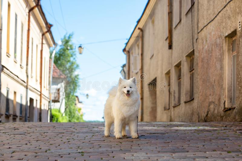 在老镇的背景的萨莫耶特人狗 库存照片