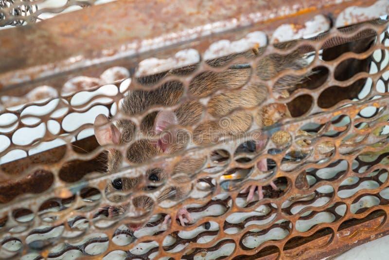 在老鼠陷井笼子捉住的鼠 库存照片