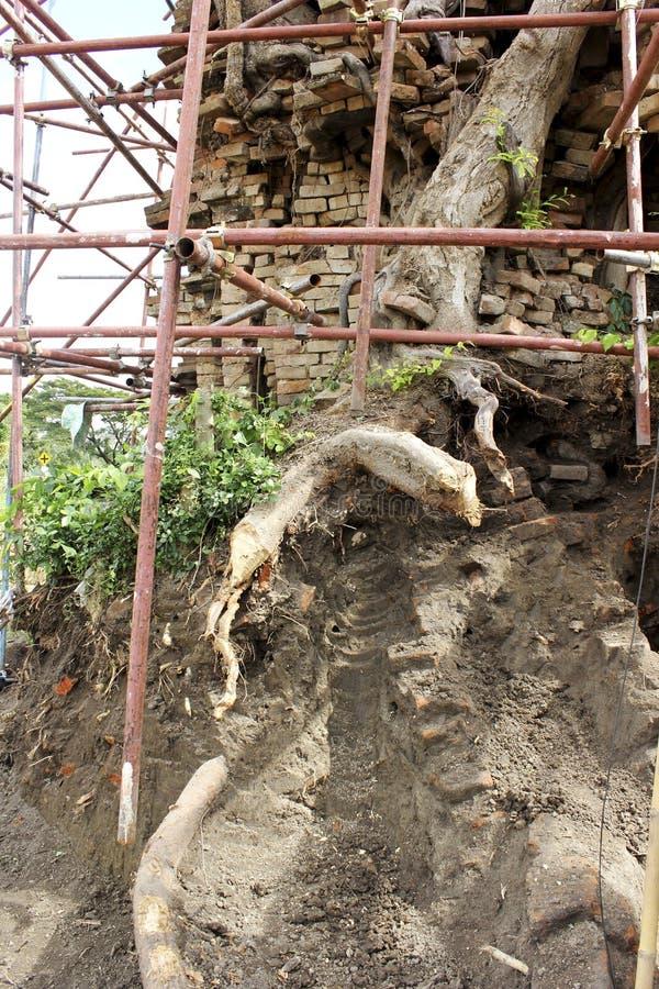 在考古学站点的榕树 免版税库存照片