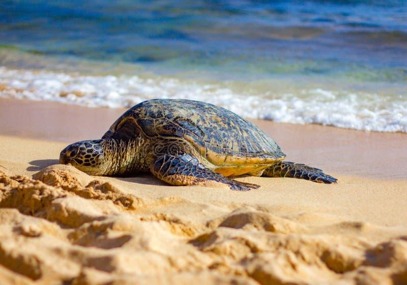 在考艾岛海滩的海龟 免版税库存图片