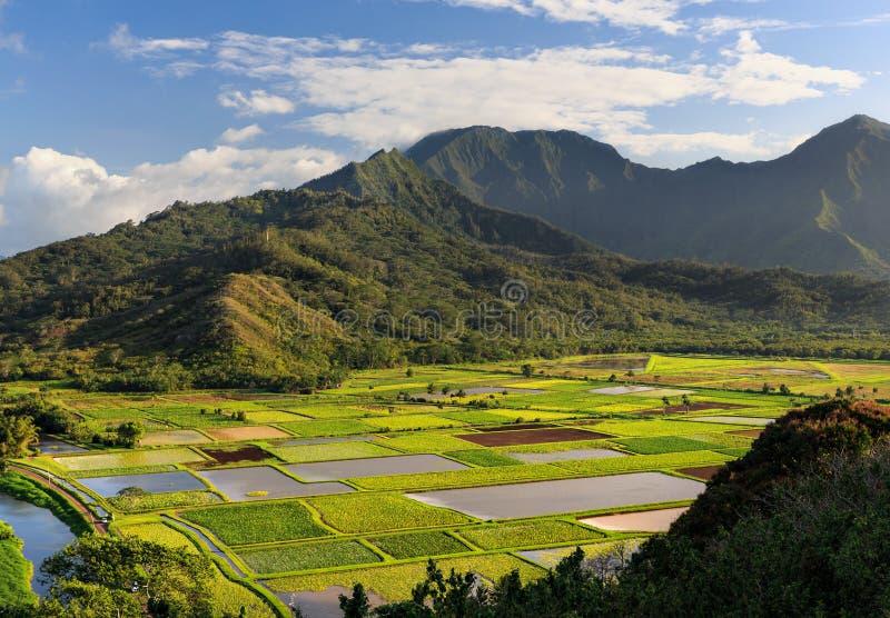 在考艾岛,夏威夷的芋头领域 图库摄影